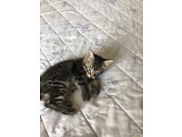 Tabby kitten female 8 weeks