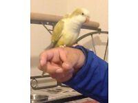 cinnamon quaker parrot