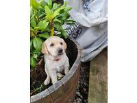 Labrador retriever Golden Girl