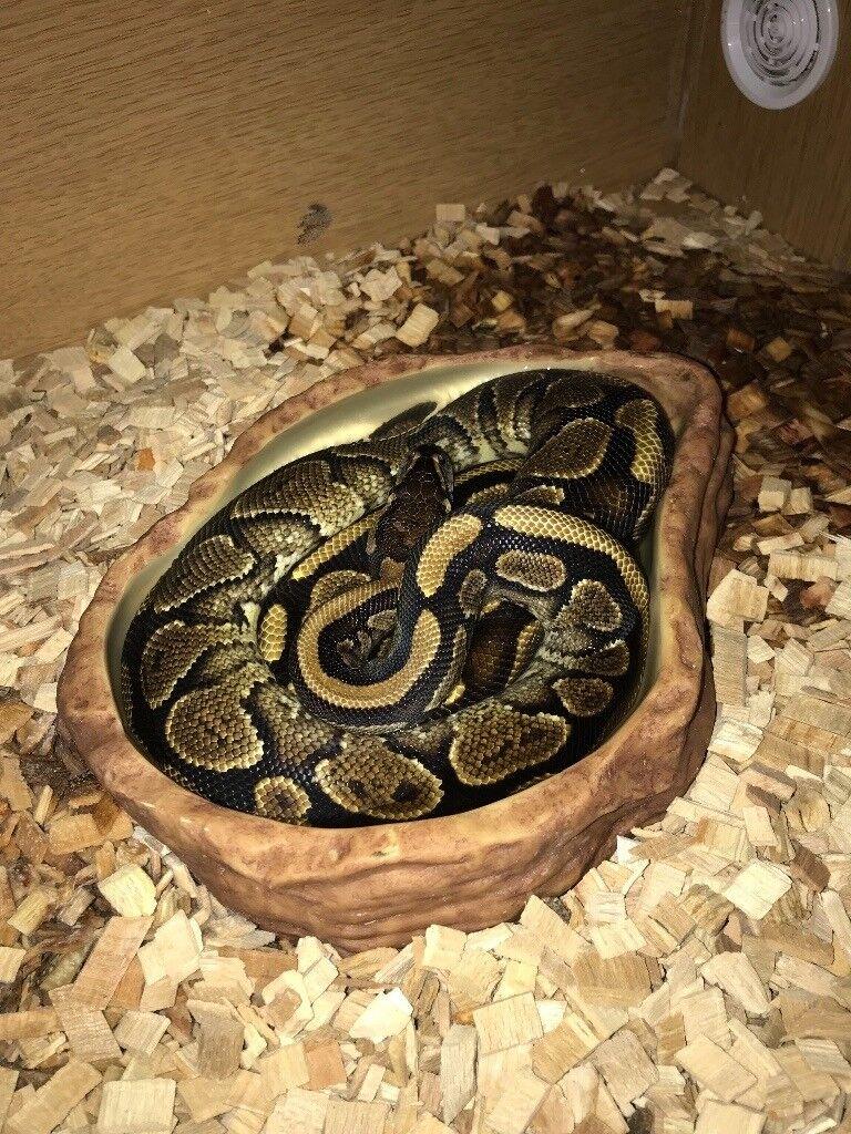 Firebelly Royal Python 2 years old with Vivarium