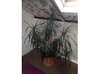 Dracaena houseplant large