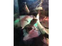 1 year old bearded dragon and whole set up for sale heat mat, lamp uv light all in 1 light largetank