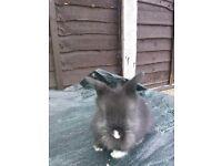 Lionhead cross mini lop rabbit.