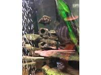 Fish African Malawi Cichlids