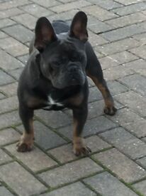 French bulldog Blue & Tan female