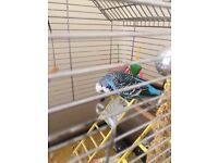 Blue budgie and cage