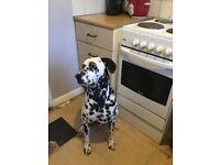 1 year old dalmatian