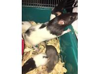 Beautiful baby rats ready now !!!