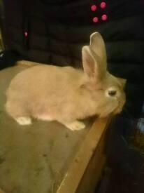 Lion X Lop Female Pet Rabbit Doe