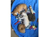 Beautiful chihuahuas for sale