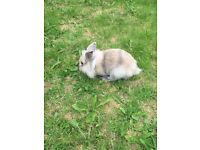 2 beautiful fluffy lion head rabbits for sale