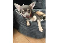pedigree chihuahua juniors for sale