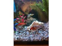 Pair of Goldfish FOC