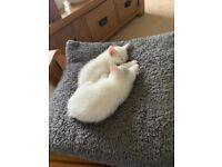 Beautiful white kittens