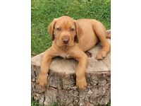 Hungarian wirehaired vizsla puppies