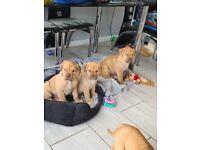 Dogue de bordeaux x British mastiff pups