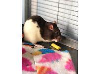 Read discription. Pet rats for sale!