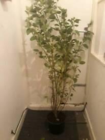 New Zealad Broadleaf / Griselinia Littoralis / Kapuka plant