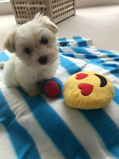 Maltese X Shih Tzu Puppy For Sale In Canary Wharf London Gumtree