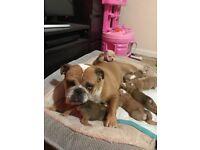 KC English Bulldog puppies for sale