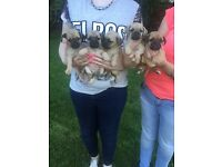 Pug / Jug Puppies