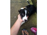 **12 week border collie** 295