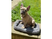 French Bulldog Puppies For Sale (1 remaining!)