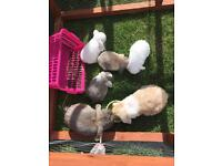 Baby mini lop ear rabbits for sale