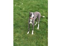 Coile whippet