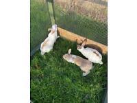 English spot rabbits