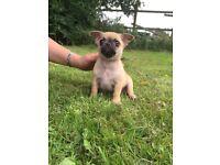 Beautiful chug puppies for sale