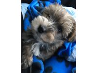 Gorgeous Yorkiepoo male puppy