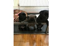 Beautiful KC REG pedigree Pug Puppies with chinchila & platinum dna