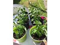 Chilli Plants for sale with flowers forming