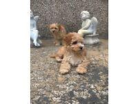Cavachon x poodle puppy's