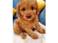 F1 Cavapoo Puppies - Last Remaining Boy Available, Ready Now