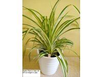 Spider Plant in Vase