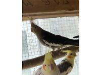 Cockatiel Finches and cage for sale.