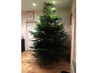 Fresh Best Quality Nordman Xmas Trees FREE DELIVERY