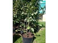 Hornbeam hedges for sale
