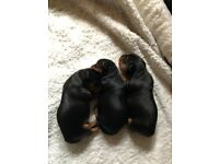 Adorable Pure Breed Yorkshire Terrier Puppies