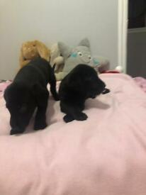Kc registration Labrador puppy