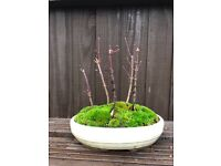 Bonsai Maple Forest ( Reserved )