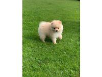 Miniature cream girl Pomeranian for sale