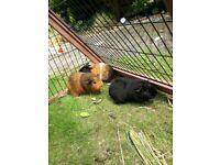 3 cute Guinea Pigs and triangle hutch