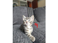 8 Kittens for sale