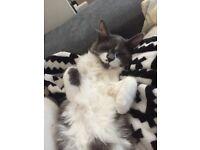 Cute &ًFluffly Ragdoll x kitten