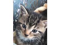 1 male 1 female kitten