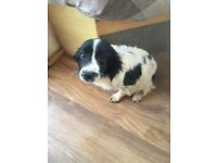 Springer Spaniel lady 7months old