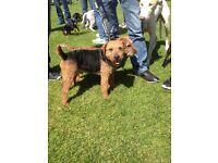 Lakeland Terrier Pups
